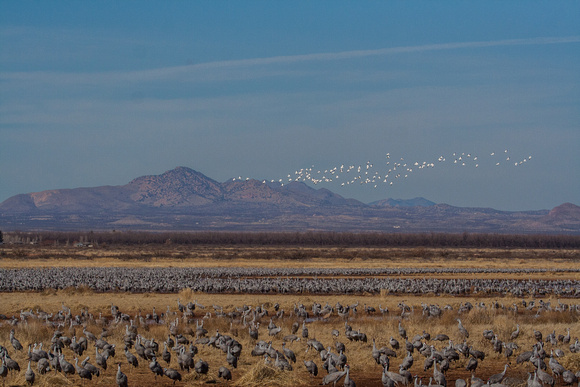 Snow Geese fly